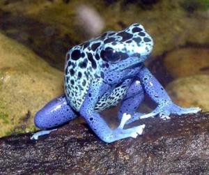 Blue.poison.dart.frog